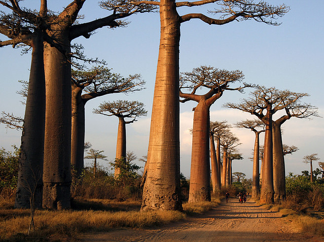 Avenue-ofthe-Baobabs-1