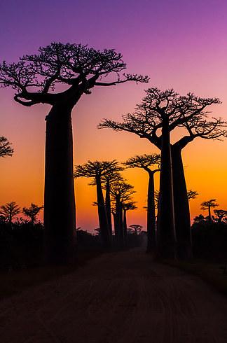 Avenue-ofthe-Baobabs-2