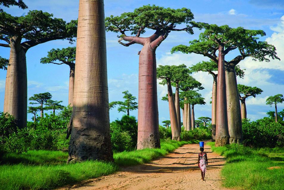 Avenue-ofthe-Baobabs