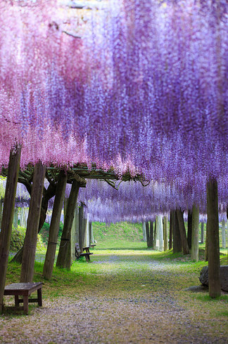 Wisteria-Tunnel-2